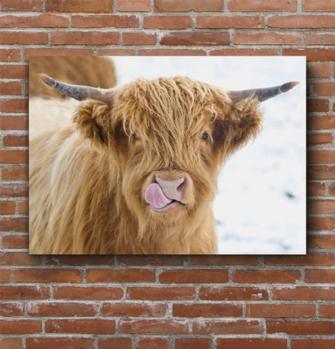 Licky Cow Highland Cow Large Canvas Print